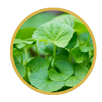 Chiết xuất Centella Asiatica - Rau má từ Trung tâm Mỹ phẩm Milan của Ý