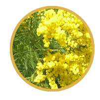 Acacia decurrens extract (rễ cây keo)