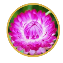 Elichrysum arenarium extract (tinh chất hoa bất tử)
